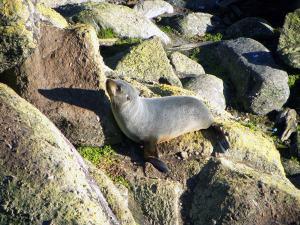 touranga-bay-seal-pup