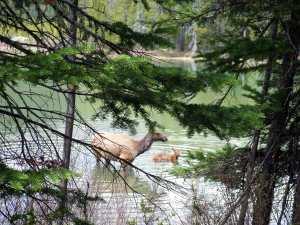 Elk encounter on String Lake