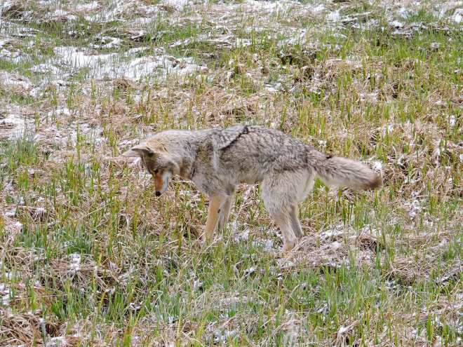 Frisky fox in Yellowstone National Park