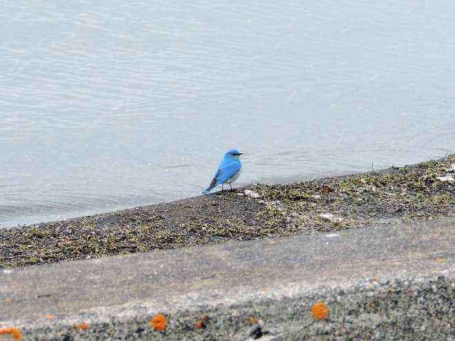 Mountain Bluebird in Yellowstone National Park
