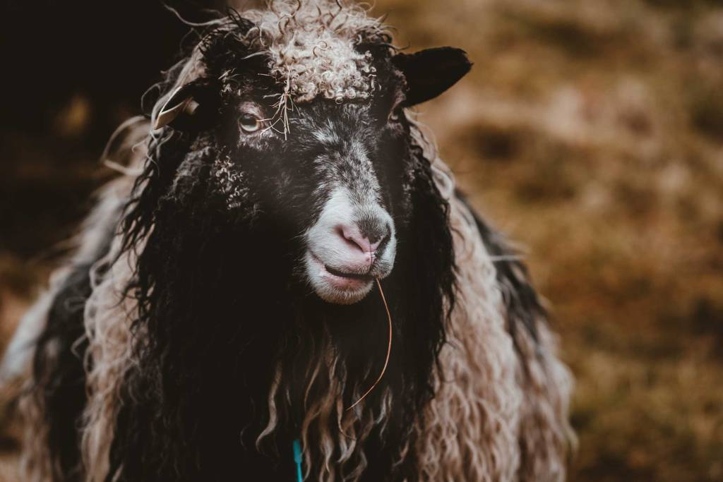 Faroe Islands sheep by Annie Spratt