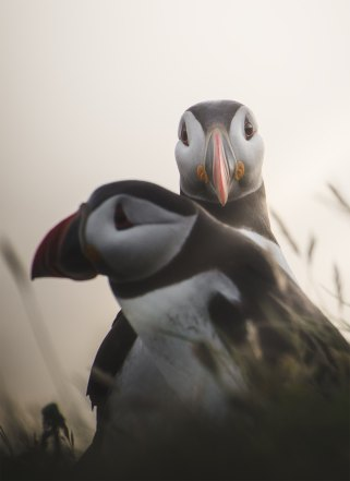 Puffins by William Faucher, Unsplash.com