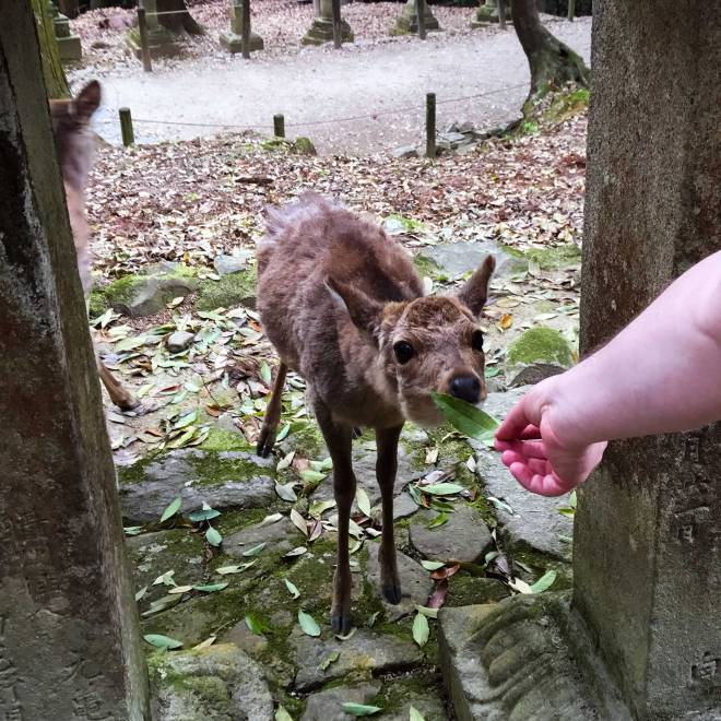 Feeding deer at Nara Deer Park