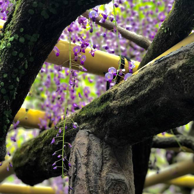Wisteria branches at Kasuga Taisha in Nara, Japan