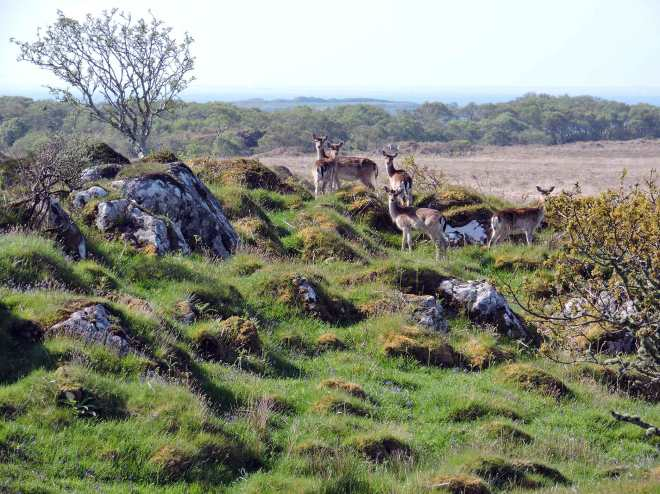 deer on islay in scotland