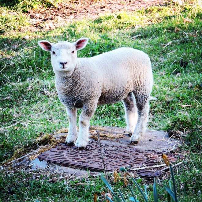 scottish spring lamb